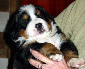 Buying A Bernese Puppy